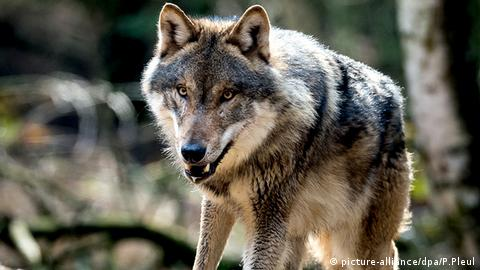 A wolf in a Germany's wildlife park Schorfheide (picture-alliance/dpa/P.Pleul)