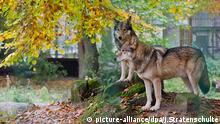 Wolf Deutschland Gehege Deutschland (picture-alliance/dpa/J.Stratenschulte)