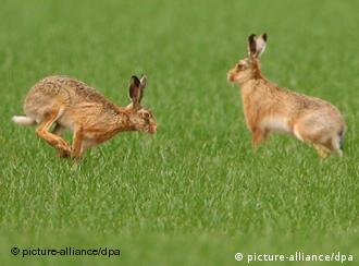 Two rabbits hopping in grass