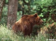 The endangered brown bear, found in Poland is protected under Natura 2000 policy