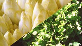 Chicoree und Endivien