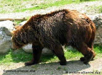 Bruno the brown bear on the prowl in Bavaria