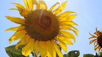 BDT Sonnenblume
