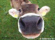 De la vaca queda una información genética mínima.