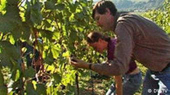 Ein Mann und eine Frau ernten Weintrauben von einem Weinstock