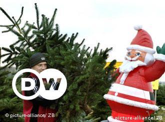 In Mitteleuropa wird hauptsächlich die Nordmanntanne als Weihnachtsbaum verwendet. Die Beliebtheit der Nordmanntannen hat einen einfachen Grund: die Nadel pieksen nicht.