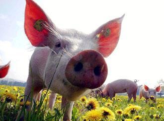 Ferkel in einem Schweinezuchtbetrieb (Foto: AP)