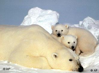 A female polar bear resting with her cubs on the pack ice in the Beaufort Sea in northern Alaska