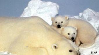Eisbären. Quelle: ap