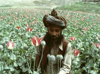 نقش طالبان درکشت ، توليد وقاچاق مواد مخدر