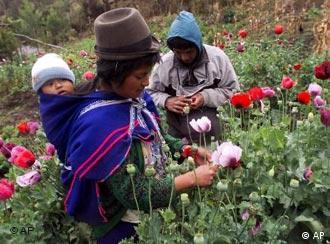 Indigene Kolumbianer bauen Mohn auf einem Feld ab. Quelle: AP