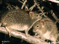 Los ratones y los seres humanos comparten los genes.