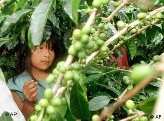 Plantaciones de café en Panamá: lugar de trabajo para menores.