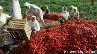Albanische Bäuerinnen ernten roten Paprika nahe Ohrid See