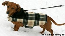Deutschland Hund Dackel mit Mantel