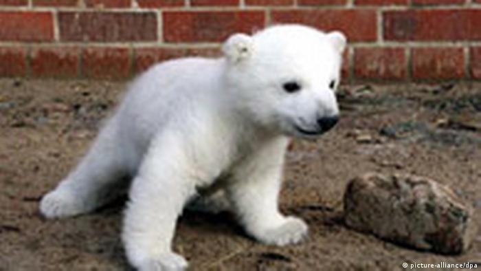 Eisbärbaby Knut hat am Freitag seinen ersten Auftritt