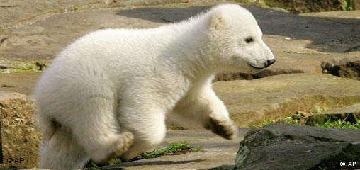 Deutschland Berlin Zoo Eisbärenbaby Knut