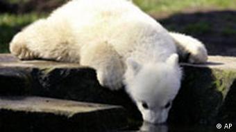 Knut trinkt