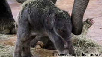 Elefantenbaby Marlar im Kölner Zoo