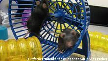 Wie man bei Mäusen Demenz aufhält und verlorene Erinnerungen zurückholt, beschreiben Forscher des European Neuroscience Institute Göttingen in der Fachzeitschrift NATURE. Hoffnung auch für den Menschen. Bild nur im Zusammenhang mit der Pressemitteilung auf http://idw-online.de/pages/de/news206285 verwenden.