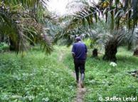 Los palmitos podrían ser una alternativa al cultivo de coca.