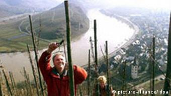 Deutschland Mosel Weinbau Calmont Europas steilster Weinberg
