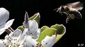** ARCHIV ** Eine Biene naehert sich am 15. April 2007 in Bruchkoebel bei Frankfurt einer Birnenbluete. Ein grosses Bienensterben wie zuletzt in den USA koennte es ohne entsprechende Gegenmassnahmen bald auch wieder in Deutschland geben. Wegen des milden Winters hat sich die gefaehrliche Varroa-Milbe zumindest in Sueddeutschland zuletzt sehr stark vermehrt und koennte schon in den naechsten Wochen zum ernsten Problem werden, wie er Leiter des Bienengesundheitsdienstes beim Staatlichen Tieraerztlichen Untersuchungsamt Baden-Wuerttemberg in Aulendorf, Frank Neumann, am Montag, 18. Juni 2007, im AP-Gespraech sagte. (AP Photo/Ferdinand Ostrop) ** zu unserem Korr ** --- A bee approaches to land in a pear blossom in Bruchkoebel near Frankfurt, Germany, Sunday, April 15, 2007. (AP Photo/Ferdinand Ostrop)