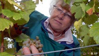 Danish European Commissioner for Agriculture, Mariann Fischer Boel, harvests grapes