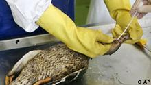 Vogelgrippe, eine tote Stockente wird seziert