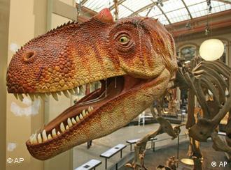 The head of an Allosaurus fragilis in the new exhibition