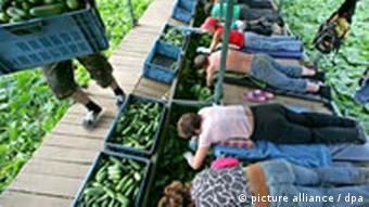 Поки українці збирають польський урожай, поляки шукають кращого заробітку, приміром, на полях Бранденбурга