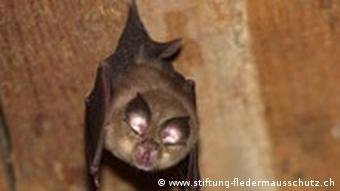 Στα περιττώματα αυτού του είδους νυχτερίδας η Τσένγκλι Σι εντόπισε κορωνοϊούς