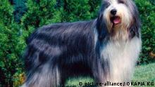 Deutschland Hund Rassenhund Bearded Collie