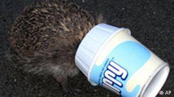 A hedgehog eats left over ice cream from a discarded McFlurry cup (AP)