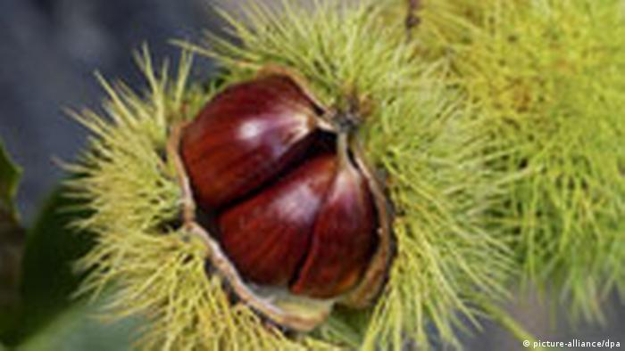 Photo of a sweet chestnut. Source: Picture-Alliance / dpa