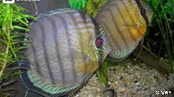 Fische im kolumbianischen Amazonaswald