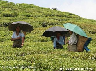 Darjeeling's tea plantations are a beloved tourist destination not least because of the cooler temperatures