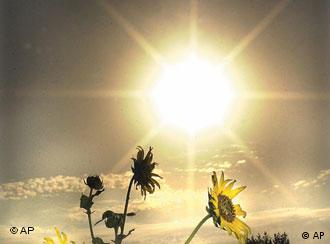 Wild sunflowers growing near Minot, N.D. High School seem to be enjoying the record-breaking heat Wednesday sept. 5, 2001. The tempeture hit 104 degrees in Minot during the afternoon.(AP Photo/Minto Daily News, Robert Petry)