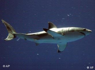 Tiburones en peligro.