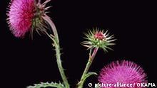 Botanik Nickende Distel Carduus nutans musk thistle Blüten rot Korbblütler Asteraceae Compositae Disteln thistles