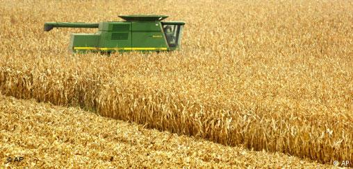 A combine cuts through a corn field