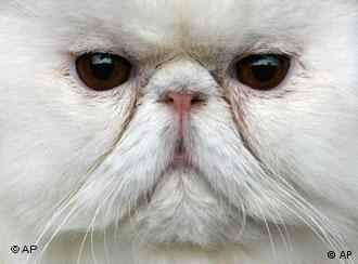 A Persian cat looks out from a cage during a two day international cat exhibition in the Bulgarian capital Sofia