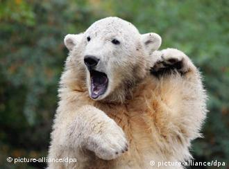 Knut, the polar bear