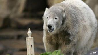 Белый медведь Кнут и торт со свечкой