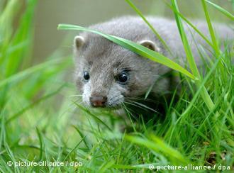 Ein Mink streift durch das Gras