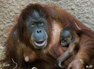 Eine Orang-Utan-Mutter mit ihrem Baby auf dem Arm