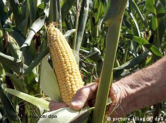 A hand picking corn