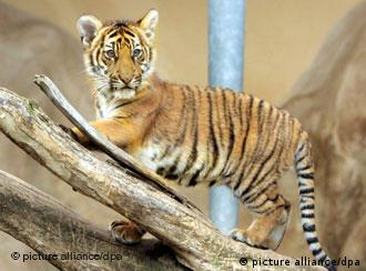 The 4-month-old tiger Johann