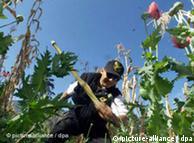 En México se destruyen los campos de amapolas, pero la Salvia Divinorum es legal.