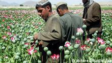 Rekordernte bei Opium und Cannabis
